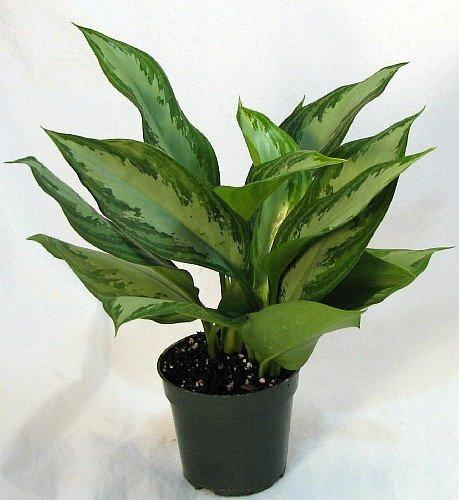 Photo of Chinese Evergreen (Aglaonema 'Silver Queen') uploaded by robertduval14
