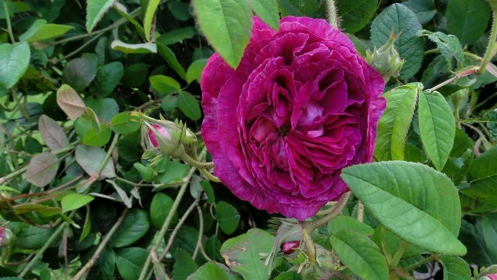 Photo of Rose (Rosa 'Ambroise Pare') uploaded by Orsola