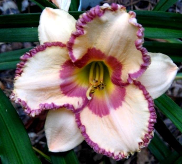 Photo of Daylily (Hemerocallis 'Champagne and Caviar') uploaded by Sscape