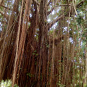 Location: BarbadosDate: 2015-12-15It is said that the Portuguese name for this tree, 'Os Barbados',