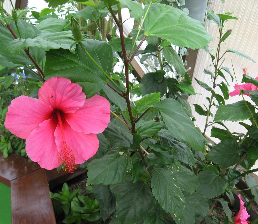 Photo of Tropical Hibiscuses (Hibiscus rosa-sinensis) uploaded by plantmanager