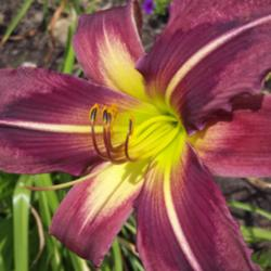 Thumb of 2015-12-16/DogsNDaylilies/137454