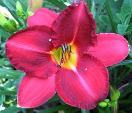 Photo of Daylily (Hemerocallis 'Charles Johnston') uploaded by Sscape