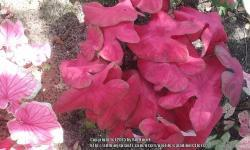 Thumb of 2015-12-18/caladiums4less/8f2285