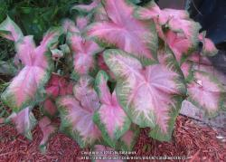 Thumb of 2015-12-18/caladiums4less/937baf