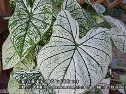 Thumb of 2015-12-18/caladiums4less/aa956d