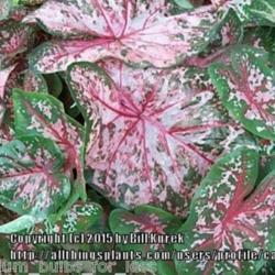 Thumb of 2015-12-18/caladiums4less/b408be