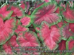 Thumb of 2015-12-18/caladiums4less/bf0bd5