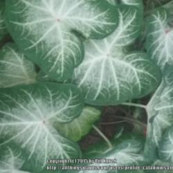 Thumb of 2015-12-18/caladiums4less/bf8a00