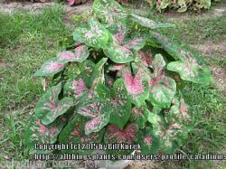 Thumb of 2015-12-18/caladiums4less/ef3eeb