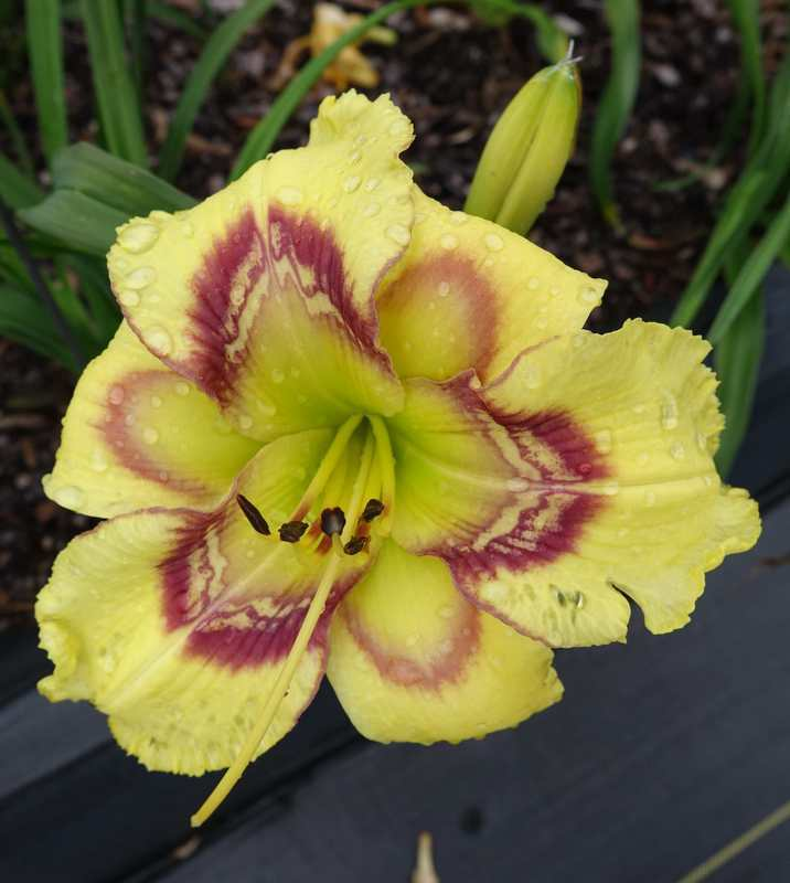 Photo of Daylily (Hemerocallis 'Four Beasts in One') uploaded by Calif_Sue
