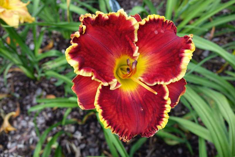 Photo of Daylily (Hemerocallis 'High Intensity') uploaded by Calif_Sue