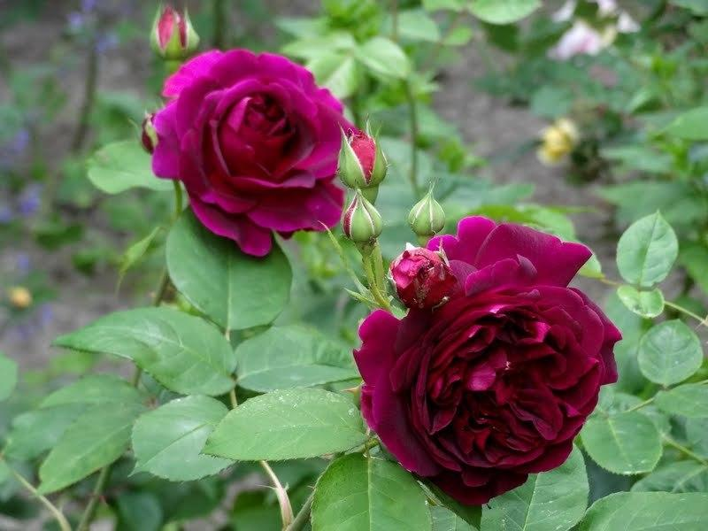 Photo of Rose (Rosa 'Munstead Wood') uploaded by Orsola