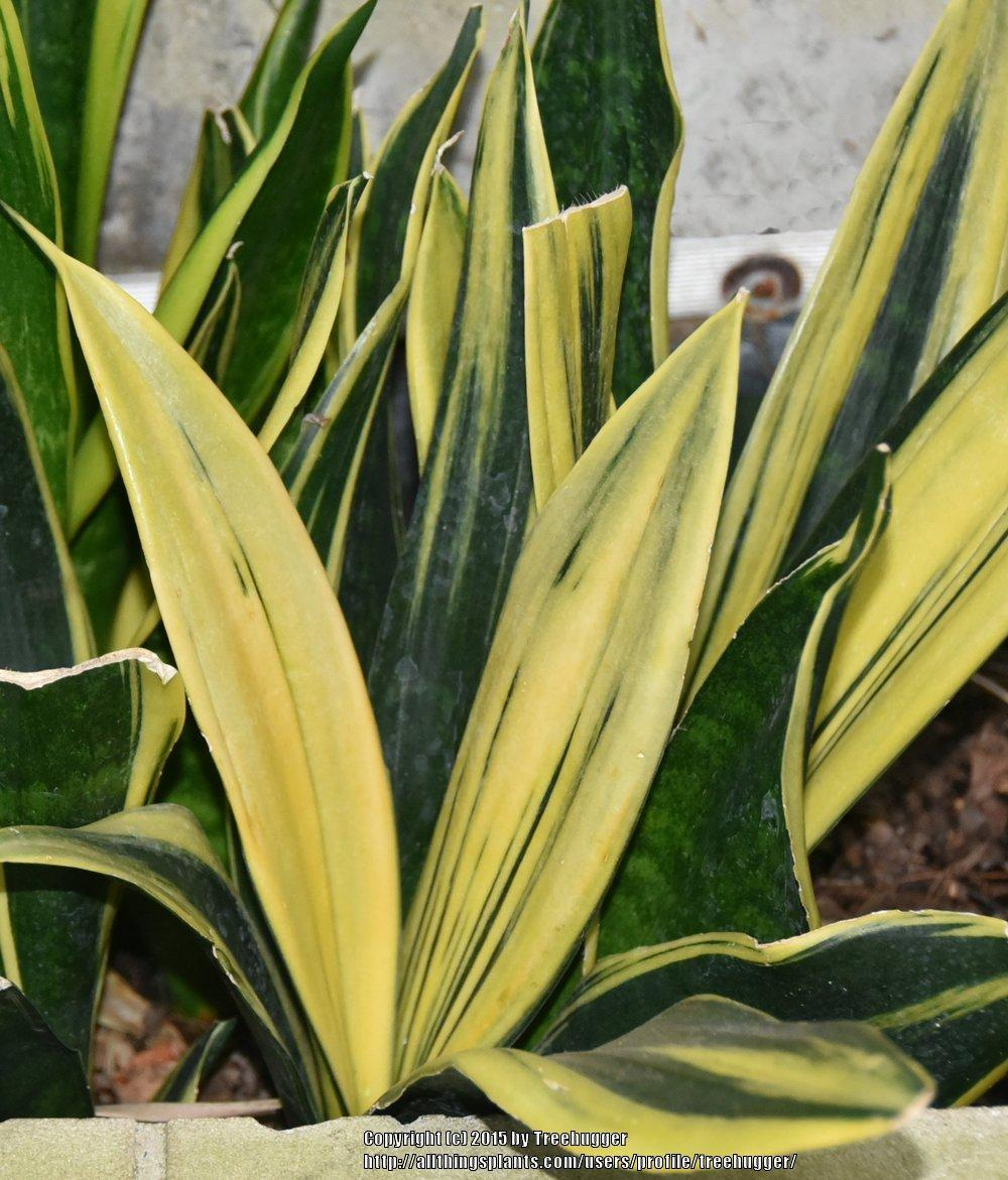 photo of the leaves of snake plant sansevieria trifasciata 39 gold flame 39 posted by treehugger. Black Bedroom Furniture Sets. Home Design Ideas