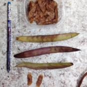 Location: MississippiDate: 2015-11-28Seed pods and seeds