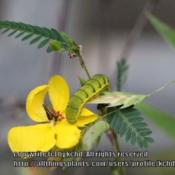 Location: MississippiDate: JulyHost plant for sulphur butterflies