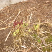 Location: My garden in Bark River, MIDate: 2015-04-19Pink- and white-flowered plants emerging in April