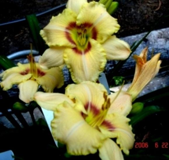 Photo of Daylily (Hemerocallis 'Ferol') uploaded by Sscape