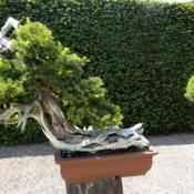 Location: RHS Wisley, UK.Bonsai