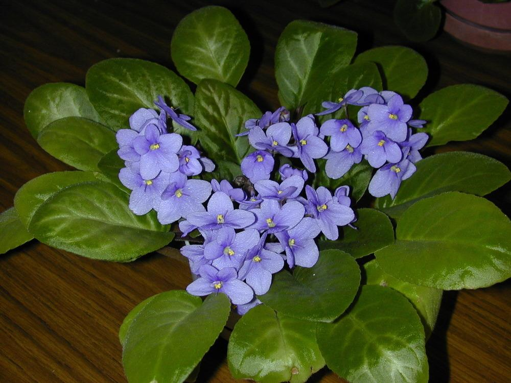 Photo of African Violets (Saintpaulia) uploaded by plantmanager