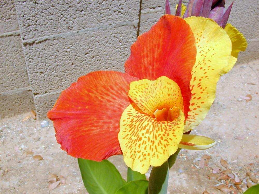 Photo of Canna Lily (Canna 'Yellow King Humbert') uploaded by plantmanager