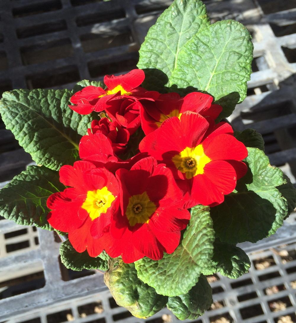 Photo of Primroses (Primula) uploaded by plantmanager