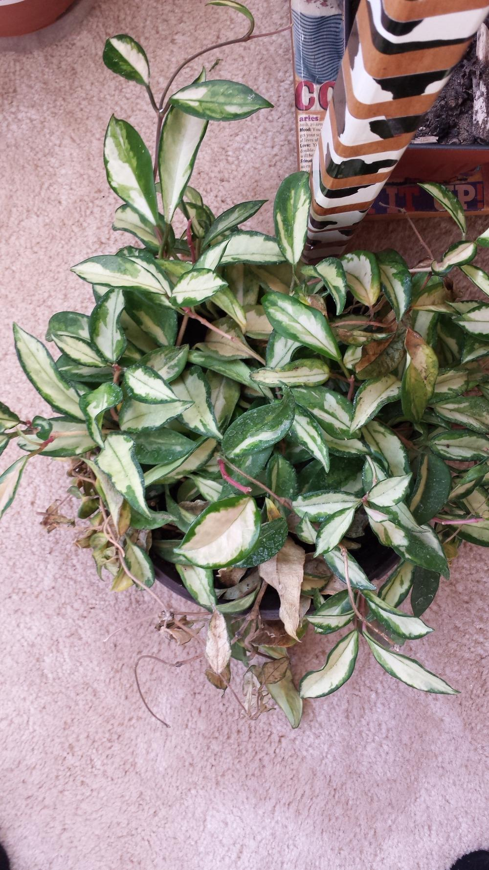 Houseplants forum hoya help needed for How much sun does a garden need
