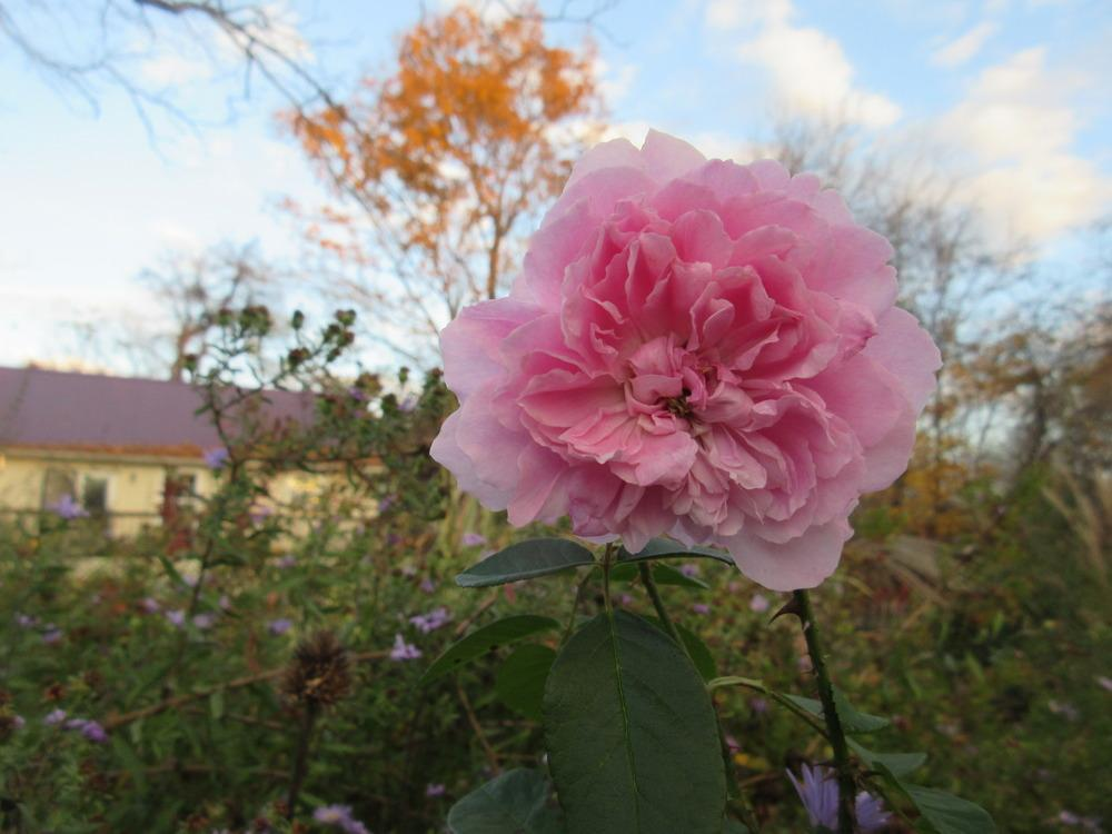 Photo of Rose (Rosa 'Harlow Carr') uploaded by christine00