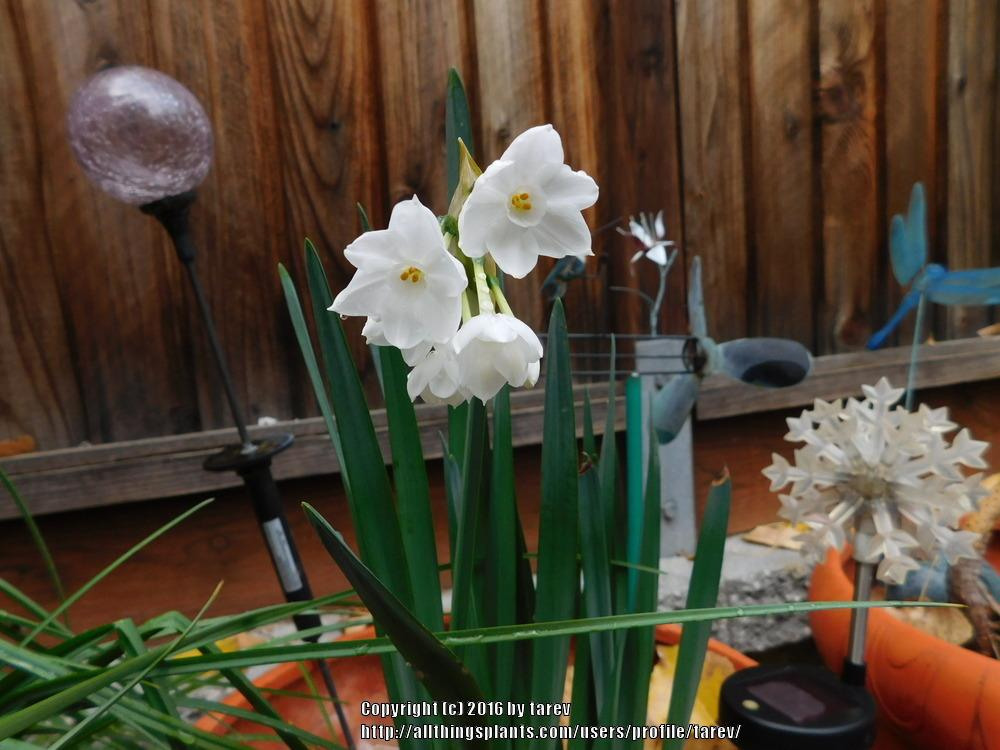 Photo of Paperwhites (Narcissus 'Ziva') uploaded by tarev