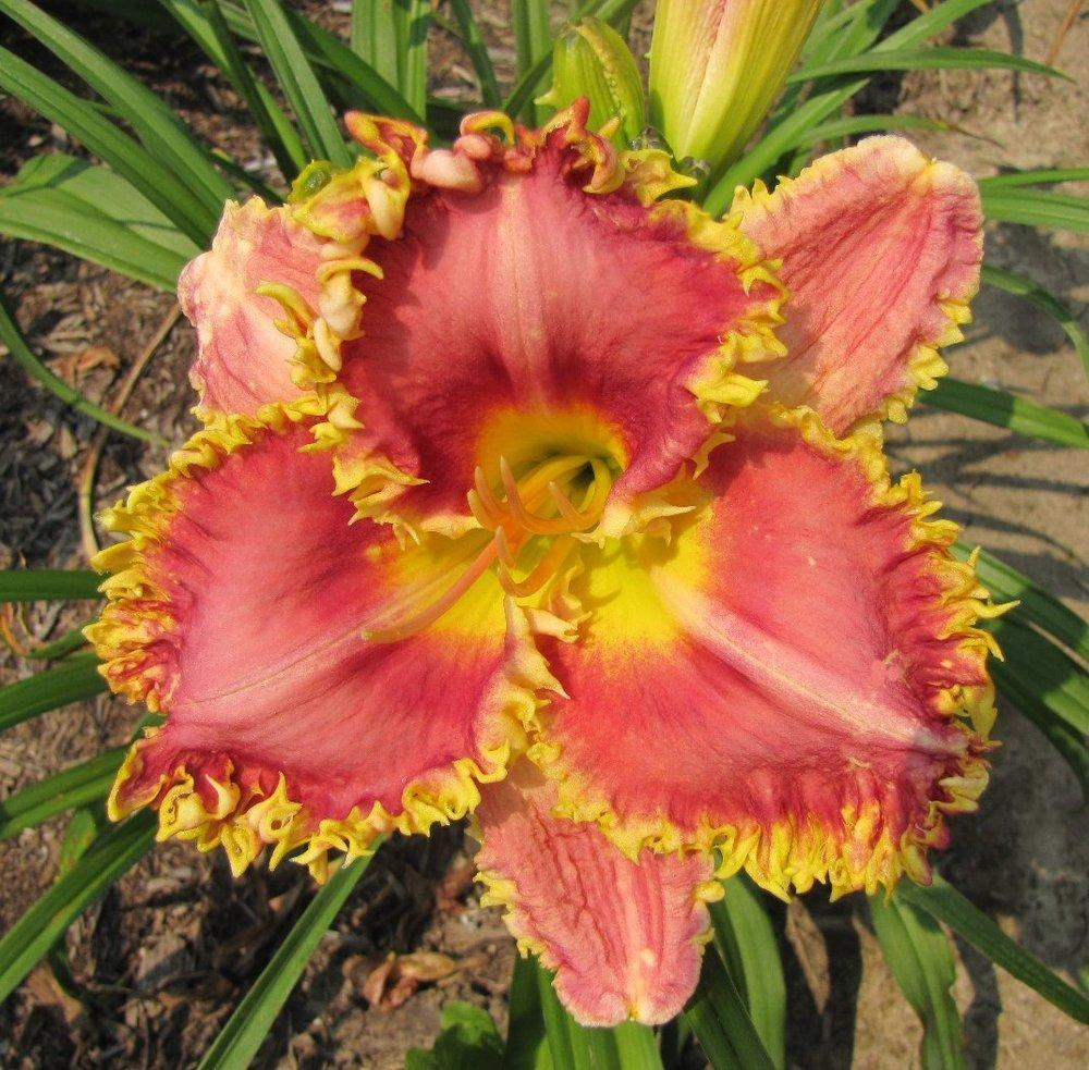 Photo of Daylily (Hemerocallis 'My Friend Mary Jane') uploaded by TsFlowers