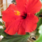 Location: My home; house plant  Date: 2013-04-17I had been growing this indoors in a sunny window with