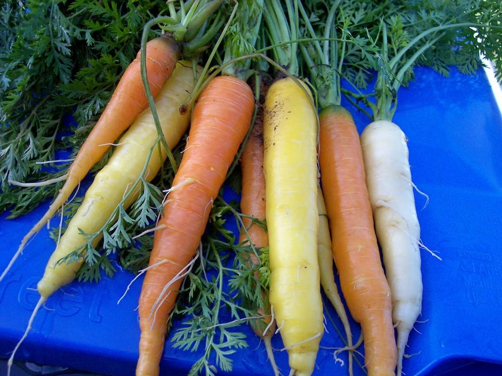 Carrots Plant Care and Collection of Varieties Gardenorg