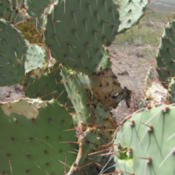Location: San Tan Mountain Regional Park, AZDate: 2013-04-17good look at the pads and spines