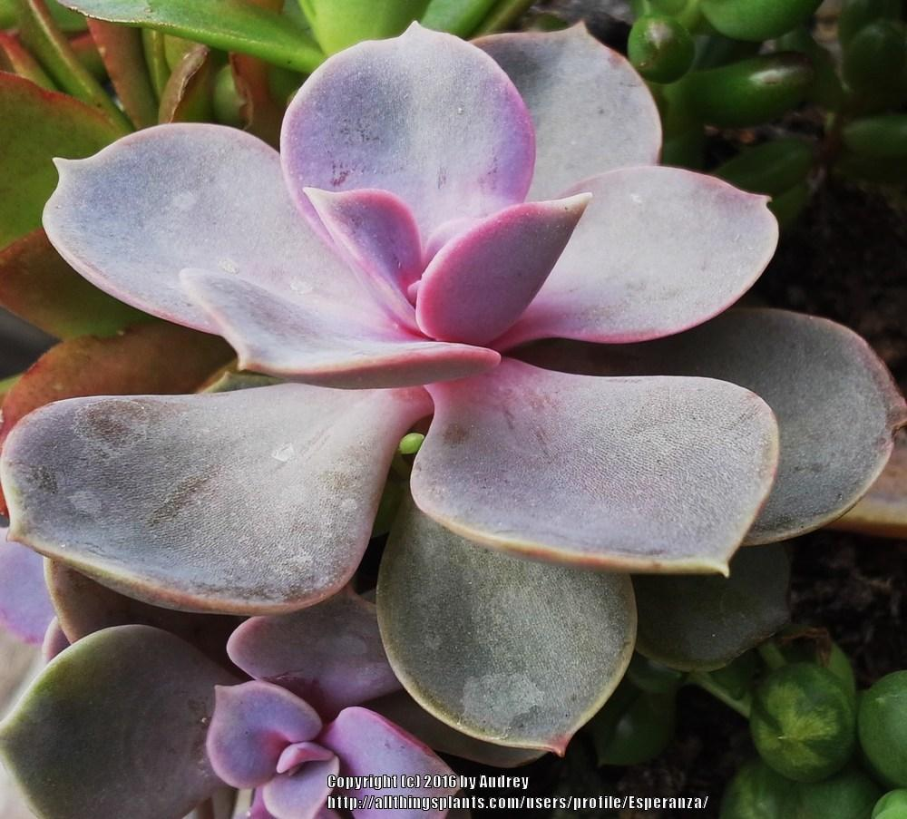 Photo of Echeveria 'Perle von Nurnberg' uploaded by Esperanza