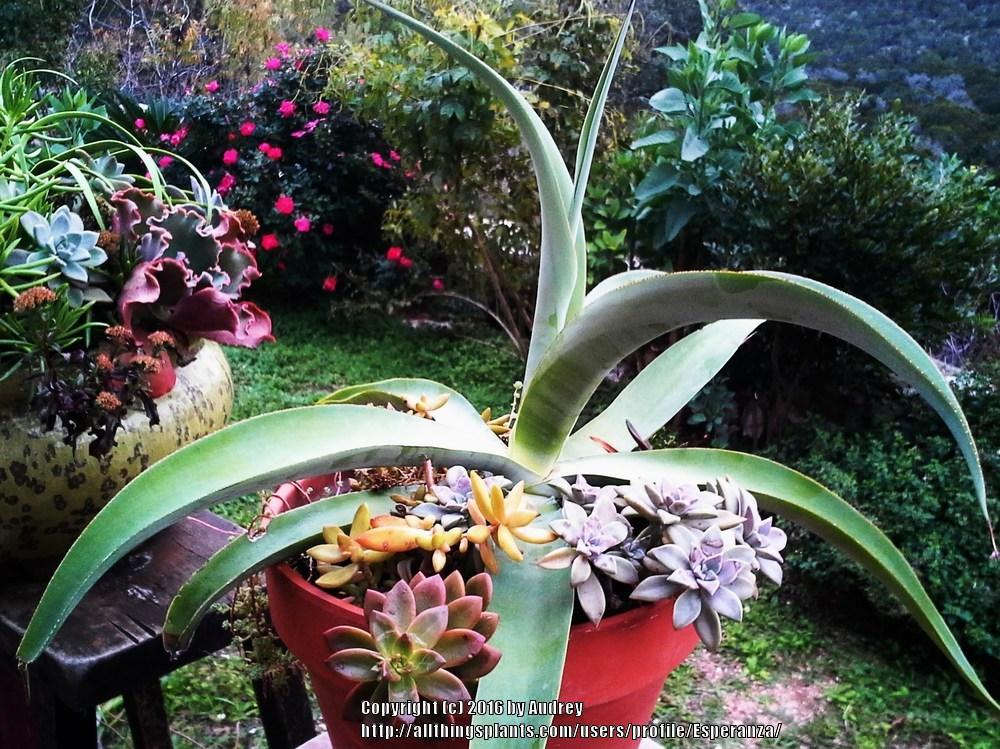 Photo of Octopus Agave (Agave vilmoriniana) uploaded by Esperanza