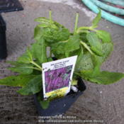 Location: My garden in Northern KYDate: 2014-05-02Just arrived through mail order and waiting to be plant