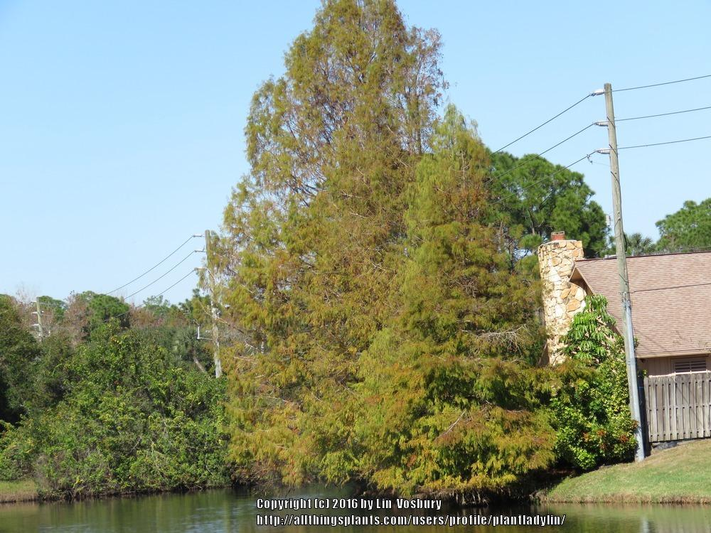 Photo of Bald Cypress (Taxodium distichum) uploaded by plantladylin