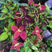 Location: Winter Springs, FL zone 9bDate: 2015-12-30Pot of several coleus clippings