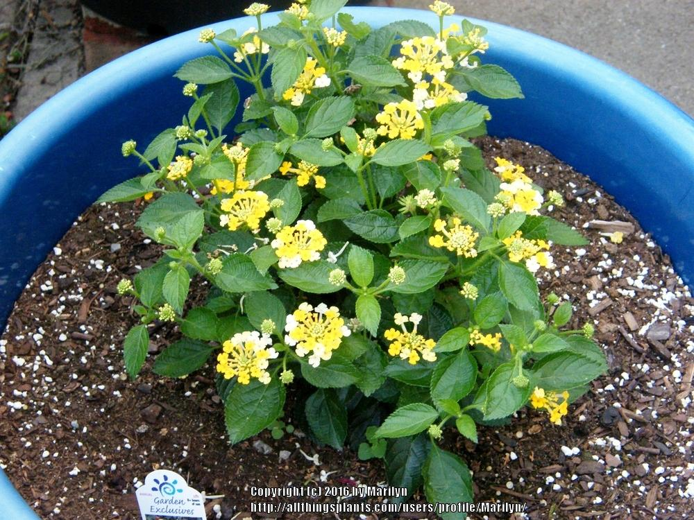 Photo of Lantana uploaded by Marilyn