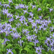 Location: Pool gardenDate: 2015-05-26Great as a ground cover. Planted in a meandering area between tal