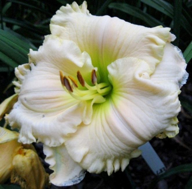 Photo of Daylily (Hemerocallis 'Ice Cream Emperor') uploaded by Sscape