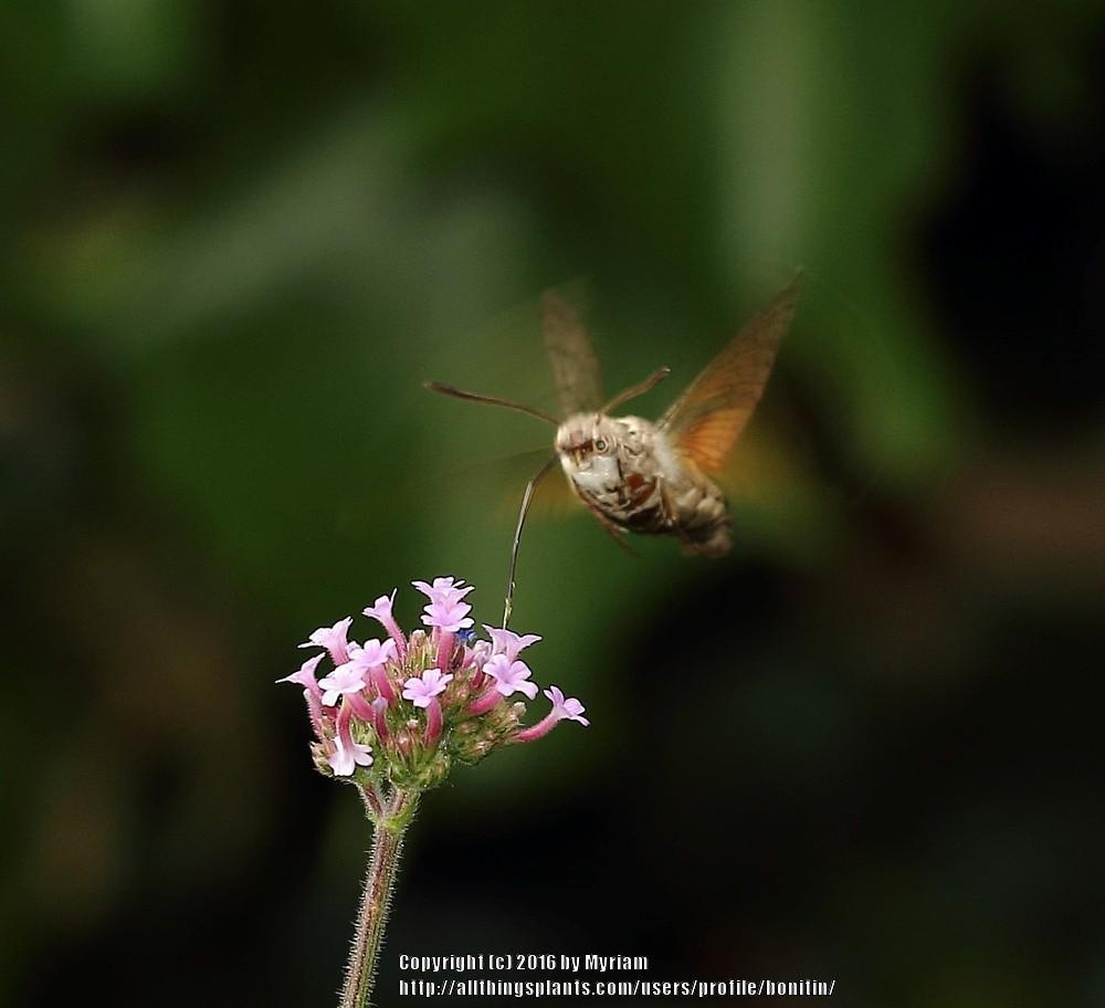 Photo of Tall Verbena (Verbena bonariensis) uploaded by bonitin