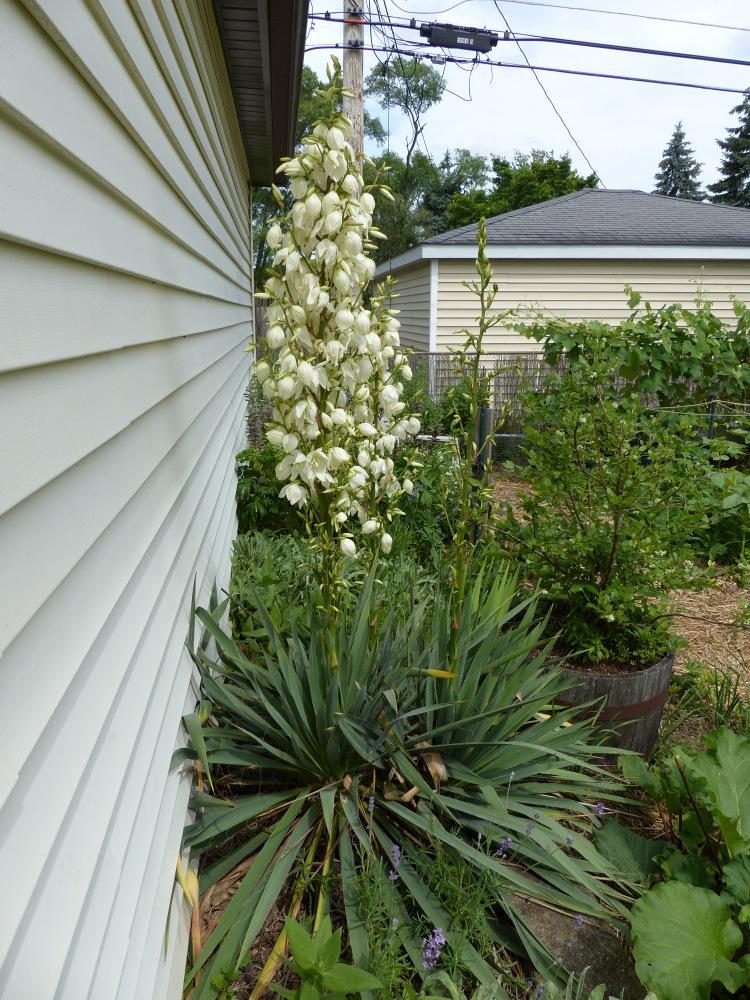 photo of the entire plant of adam 39 s needle yucca filamentosa posted by molanic. Black Bedroom Furniture Sets. Home Design Ideas