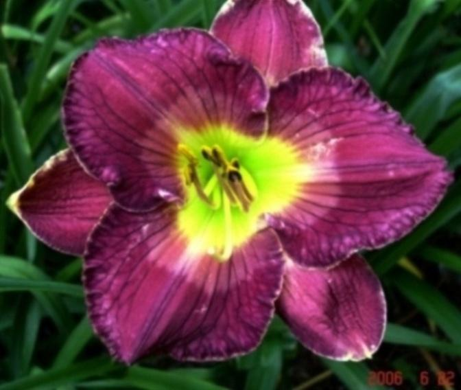 Photo of Daylily (Hemerocallis 'Imperial Splendor') uploaded by Sscape