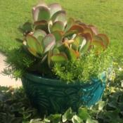 Location: My garden in Warrenville, SCDate: July 1, 2014Great among other succulents