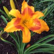 Location: My garden in Warrenville, SCDate: June 11, 2014Short scapes on maiden bloom, this summer it was about