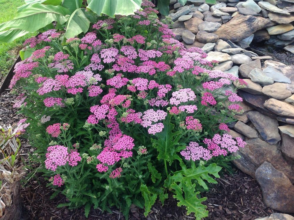 Photo of Yarrow (Achillea Tutti Frutti™ Pink Grapefruit) uploaded by scflowers