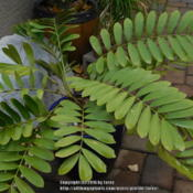 Location: In my garden - San Joaquin County, CADate: 2016-01-04 - WinterPhoto update of my Zamia furfuracea during our El Nino