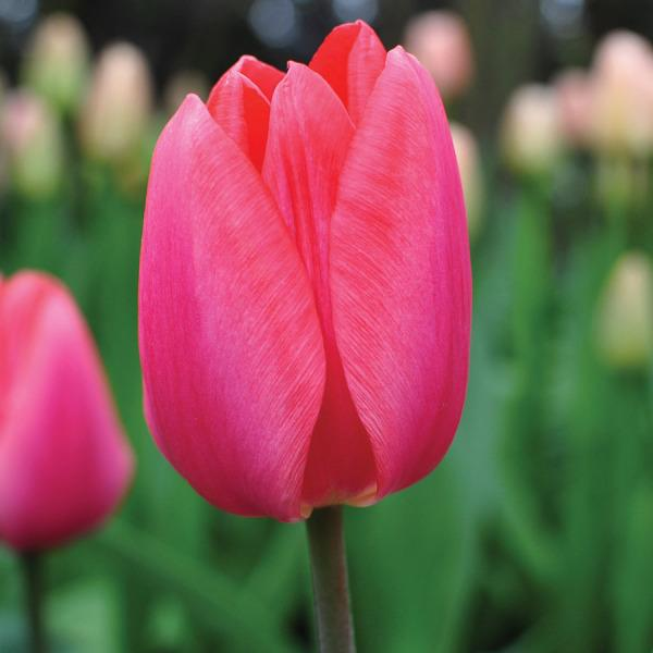 Photo of Darwin Hybrid Tulip (Tulipa 'Inra Zalm') uploaded by Calif_Sue