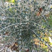Location: Native Plants Demonstration Garden, Historic City Cemetery, Sacramento CA.Date: 2015-12-15Zone 9b. Very angular, visually interesting whitish ste